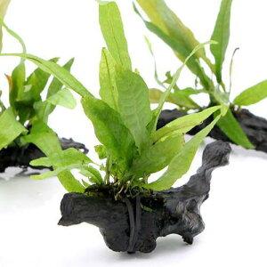無農薬!■ミクロソリウム プテロプス付 ミニ流木(1個)