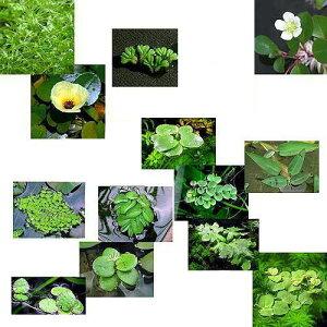 メダカの産卵におすすめ!◆おまかせ浮き草 3種セット(各1株)