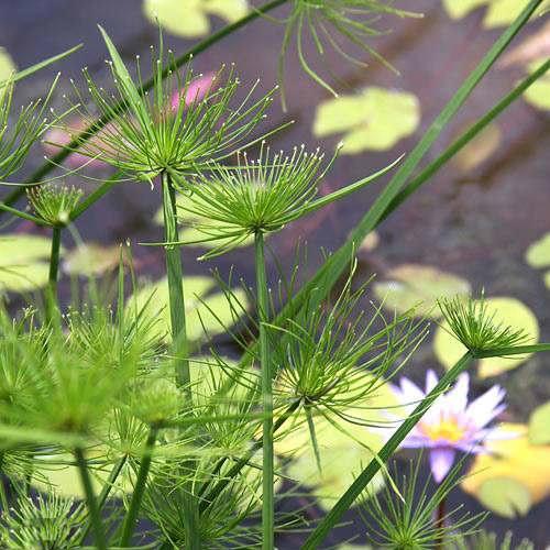 (ビオトープ)水辺植物 ミニパピルス(1ポット) 湿性植物 休眠株
