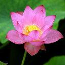 ガーデニング>ビオトープ(水辺植物)>ハス(ビオトープ/蓮)ハス(ピンク) 即非蓮(ソク...