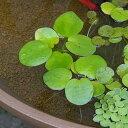 メダカの産卵におすすめ!(浮草)アマゾンフロッグビット(無農薬)(3株)