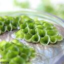 メダカの産卵におすすめ!(浮草)サルビニア ククラータ(無農薬)(3株)