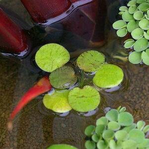 メダカの産卵におすすめ!(浮草)ドワーフフロッグビット(無農薬)(10株)