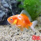 (金魚)オランダ獅子頭 ショートテール 色指定無し(中国産)(3匹)