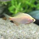 (淡水魚)イエローバラタナゴ(5匹)