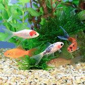(国産金魚)よりなし和金 色指定無し(5匹)