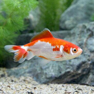 (国産金魚)更紗和金 平賀養魚場産(3匹)