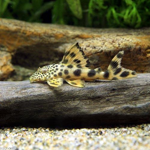 (熱帯魚)コロンビアビッグスポット・タイガープレコ(1匹)