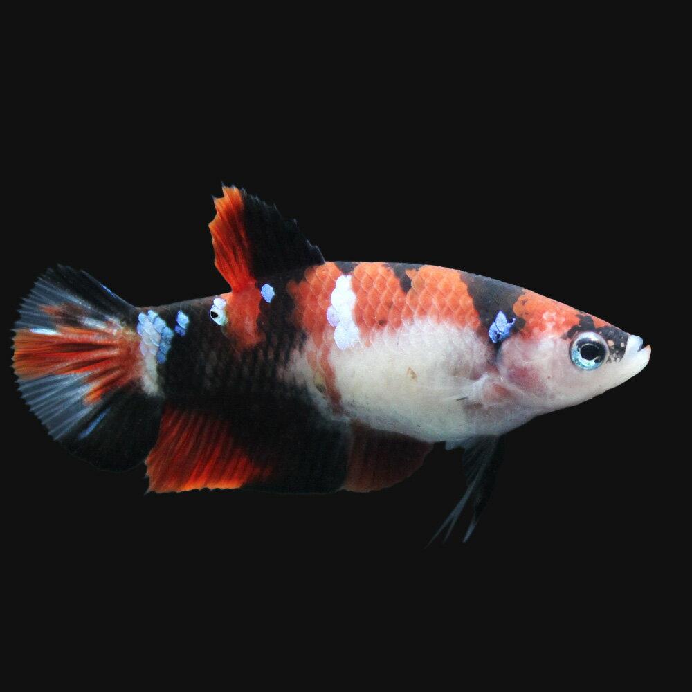 (熱帯魚)鯉ベタ・ハーフムーンプラガット コイカラー メス(赤系)(3匹) 北海道航空便要保温