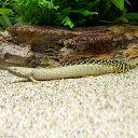 (熱帯魚)ポリプテルス・オルナティピンニス 13〜15cm(ワイルド)(1匹) 北海道航空便要保温  ...