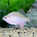 (淡水魚)カネヒラ ゴールドメタリック(1匹)