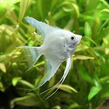 (熱帯魚)プラチナホワイト・エンゼルフィッシュ(ヨーロッパブリード)(1匹) 北海道・九州航空便要保温