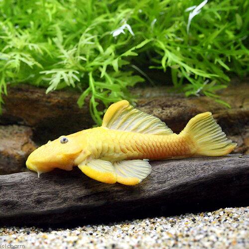 (熱帯魚)ゴールデンダルマ・プレコ フルゴールデン(1匹)