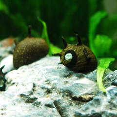水槽や石の表面のコケを食べる!▼サザエ石巻貝(6匹)