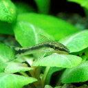 水槽や石の表面のコケを食べる!(熱帯魚)オトシンクルス(6匹)
