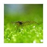 コケの付いた水草に群がるミナミヌマエビ