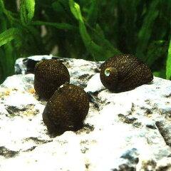 水槽や石の表面のコケを食べる!(エビ・貝)石巻貝(10匹) 北海道・九州・沖縄航空便要保温