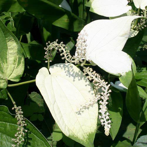 (ビオトープ)水辺植物 ハンゲショウ(1ポット) 抽水植物