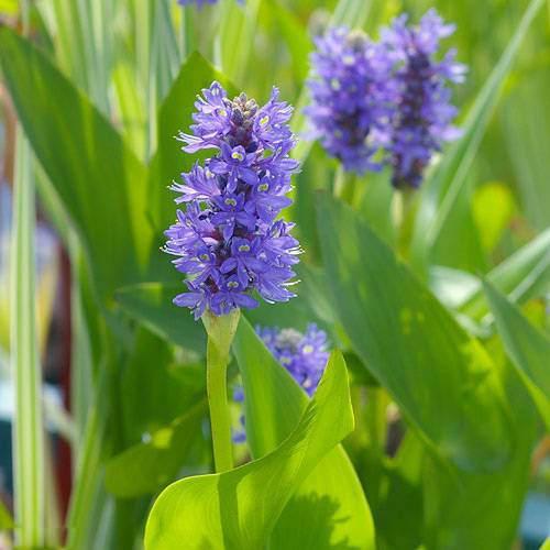 (ビオトープ)水辺植物 ポンテデリア コルダータ(青花)(1ポット) 抽水植物