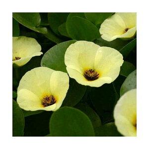 ガーデニング>ビオトープ(水辺植物)>その他水辺植(ビオトープ/水辺植物)ウォーターポピ...
