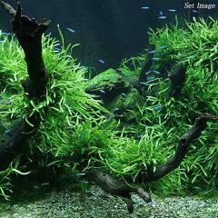 レア種です!(水草)ミクロソリウム 本ナローリーフ(無農薬)(葉数8~10枚)(1株分)