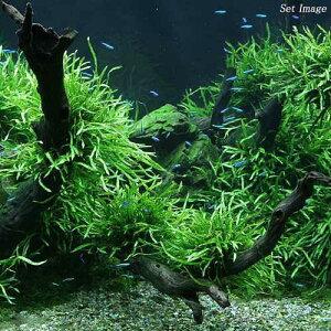 レア種です!(水草)ミクロソリウム 本ナローリーフ(無農薬)(葉数3~5枚)(1株分) 北海...