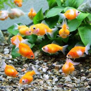 ちっちゃくてカワイイ!!(金魚)まめピンポンパール(4匹)