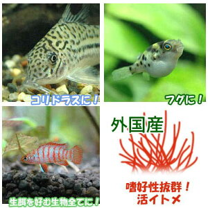(生餌) イトメ(輸入産) イトミミズ 30g