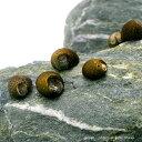 水槽や石の表面のコケを食べる!(エビ・貝)(B品)石巻貝(30匹)