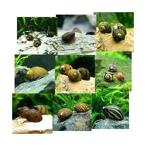 熱帯魚・エビ他>貝>種類で選ぶ(エビ・貝)ミックスカノコ貝(5匹) 北海道要保温