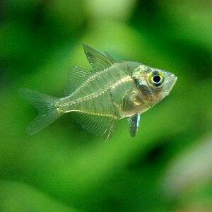 主役級の存在感!(熱帯魚)インディアングラスフィッシュ(10匹) 北海道・九州航空便要保温