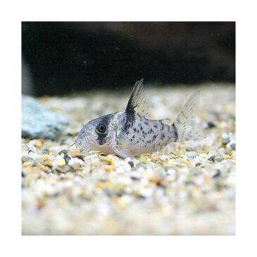 (熱帯魚)コリドラス・シュワルツィ Sサイズ(ワイルド)(1匹) 北海道・九州航空便要保温