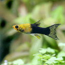 (熱帯魚)ゴールデンブラックライヤーテールモーリー(4匹)
