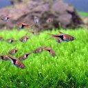 (熱帯魚)ラスボラ・ヘテロモルファ(3匹) 北海道・九州・沖縄航空便要保温
