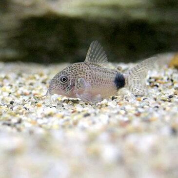 (熱帯魚)コリドラス・カウディマキュラータス(ブリード)(3匹) 北海道・九州・沖縄航空便要保温