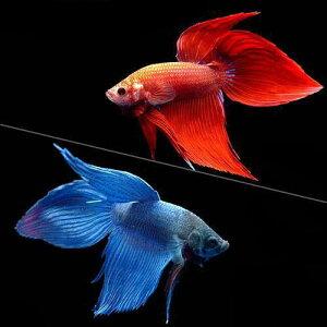 年末年始や土日祝日も発送可 365日毎日発送(熱帯魚)ベタ・トラディショナル 赤系+青系 2...