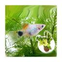 (熱帯魚)(水草)ブルー・ミッキーマウスプラティ(4匹) + ライフマルチ(茶) 寄せ植えミックス( ...