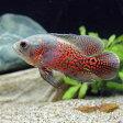 (熱帯魚)ルビーレッドオスカー(1匹) 北海道・九州・沖縄航空便要保温