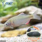(淡水魚)ヤリタナゴ(1ペア)+カワシンジュ貝(1匹)