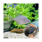 (淡水魚)タイリクバラタナゴ(1ペア)+ドブ貝(1匹)