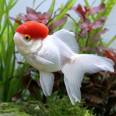 (国産金魚)高頭丹頂 飯田産 2歳(1匹)