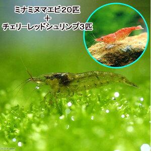 熱帯魚・エビ他>エビ・ビーシュリンプ>ミナミヌマエビ(エビ・貝)ミナミヌマエビ(20匹)+...