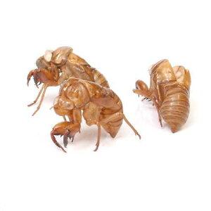 昆虫>標本用品>その他(昆虫)セミの抜け殻(5個)