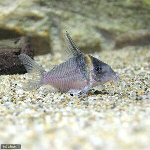 (熱帯魚)コリドラス・セミロングノーズレセックス(ワイルド)(1匹) 北海道・九州・沖縄航...