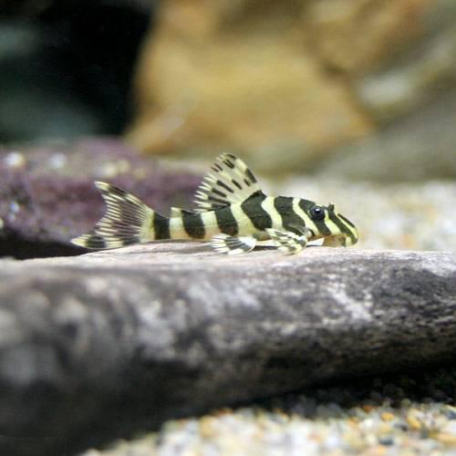 (熱帯魚)クィーンインペリアルタイガー・プレコ Sサイズ(ブリード)(1匹)