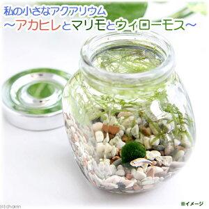(熱帯魚)私の小さなアクアリウム アカヒレボトルセット ?マリモとウィローモス?(1セット)説明書付 本州・四国限定