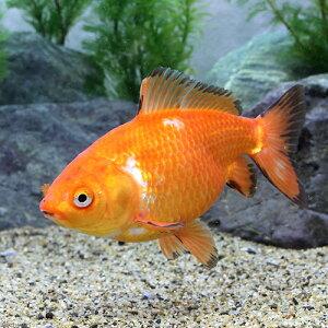 (国産金魚)一点物 ジャンボオランダ(1匹)(15cm)
