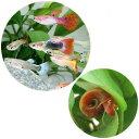 (熱帯魚)外国産ミックスグッピー(5ペア)+レッドラムズホーン(5匹) 北海道航空便要保温