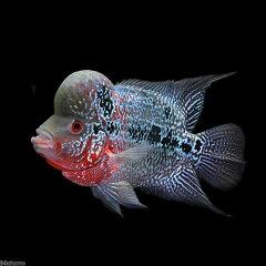(熱帯魚)一点物 フラワーホーン No.2(1匹)