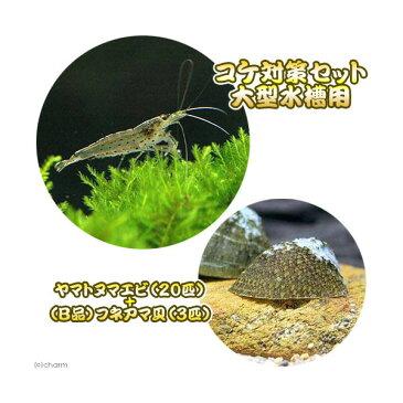 (エビ・貝)コケ対策セット 大型水槽用 ヤマトヌマエビ(20匹) +(B品)フネアマ貝(3匹)